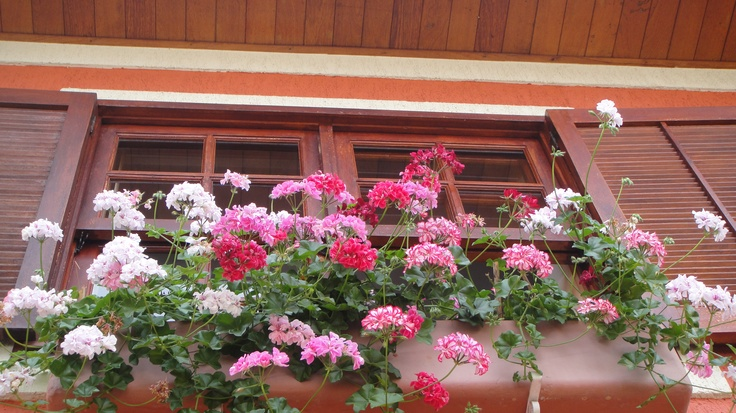 My geraniums in the windows.