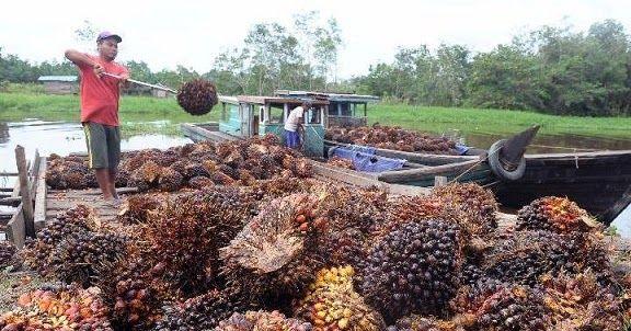 Sempat Bertahan Naik Harga Inti Sawit Cpo Dan Tbs Kelapa Sawit Di Jambi Turun Kelapa Petani Buah Segar