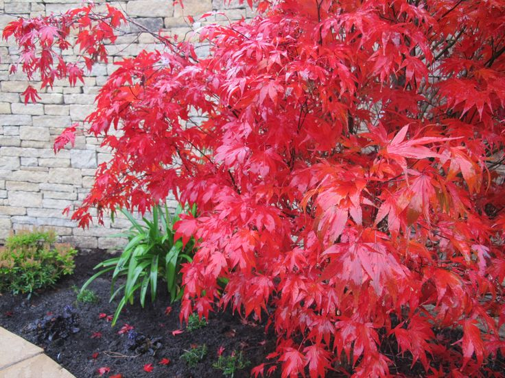 The burning red beauty of Acer Palmatum 'Bloodgood'. Simply stunning.