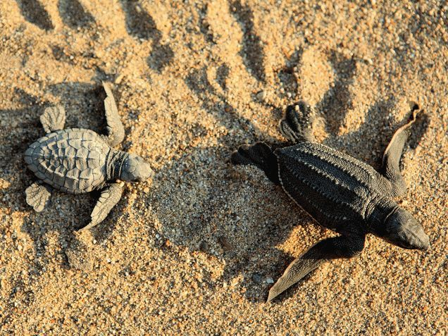 25+ best ideas about Sea turtles hatching on Pinterest | Turtle ...