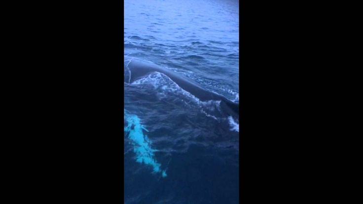 #Whalesafari   #Whalewatching   #Tromso