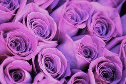 rosas roxas para luiza...