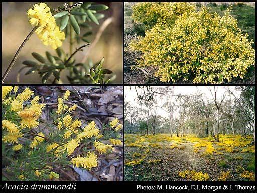 Acacia drummondii - Roleystone local