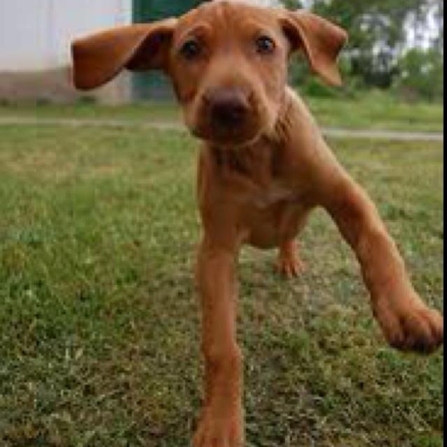 Good Floppy Ears Brown Adorable Dog - 950792c2a0550789c1266f5d6e279cc2--vizsla-puppies-viszla-dog  HD_662640  .jpg