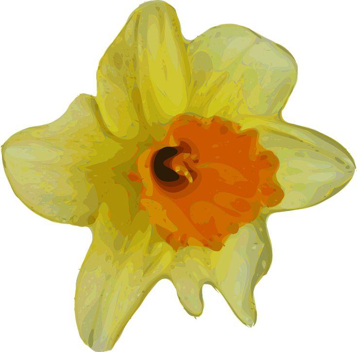 Daffodil Narcissus Flower Plant