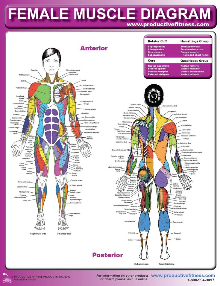 Female Muscle Diagram excersie health Pinterest Sexy - muscle chart template