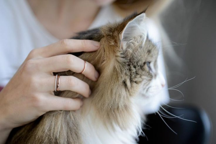 Kitty cute with a twist of rose #hvisk #hviskstylist #cat #fur #furry #norwegianforestcat #jewelry #rings #ring #rose #gold #diamonds #closeup #photography #daylight #hand