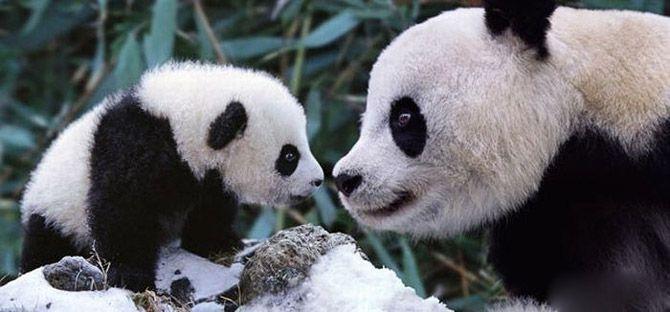 Mutter panda und ihr junges | AmO Images.  – AMANDO