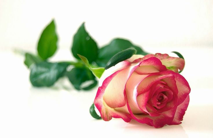 """Una rosa per dire """"ti voglio bene"""" #love #sanvalentino #valentine #valentines #flowers #gift #ideas #rose"""