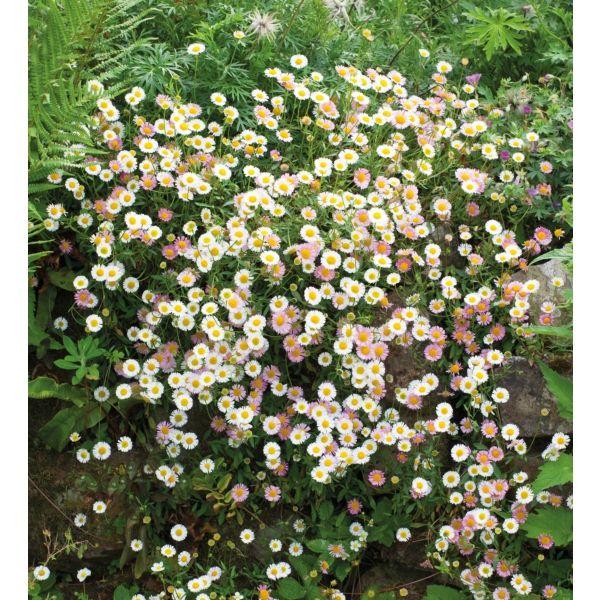 I have just purchased Erigeron karvinskianus from Sarah Raven - https://www.sarahraven.com/flowers/plants/container_plants/erigeron_karvinskianus.htm