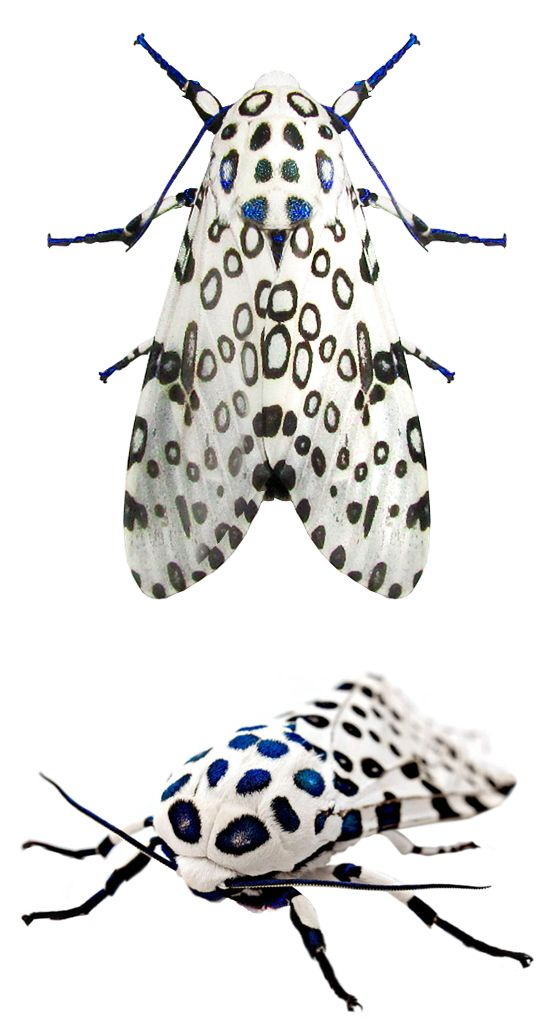 Giant Leopard Moth (Hypercompe Scribonia). Saw one of these the other night, so beautiful and it was quite a good size compared to other moths here.