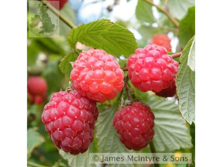 Raspberry 'Glen Ample' Rubus idaeus