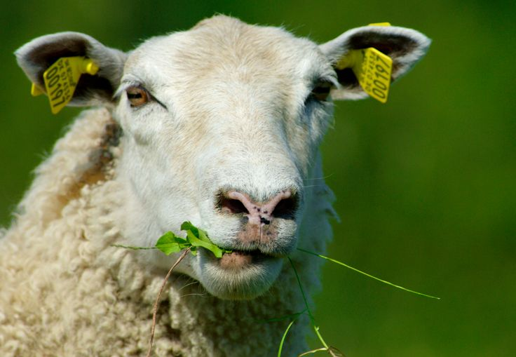 Photographer Pernille Westh | Sheep, Country Life · Get my 7 FREE basic photography tips - you need to know! http://pw5383.wixsite.com/free-photo-tips