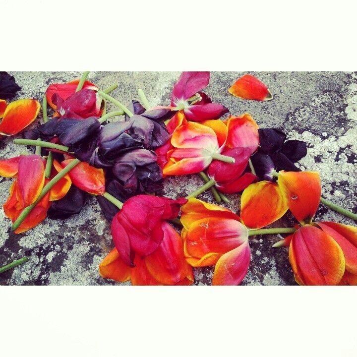 Festa del Tulipano.  I fiori e i colori di Castiglione del Lago (PG)