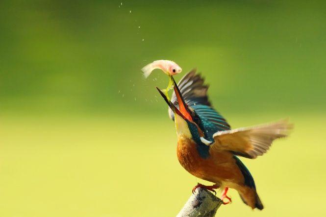 fugl, isfugl, dråber, Af Boris, fangst ved isfugl, gren, Alcedo atthis