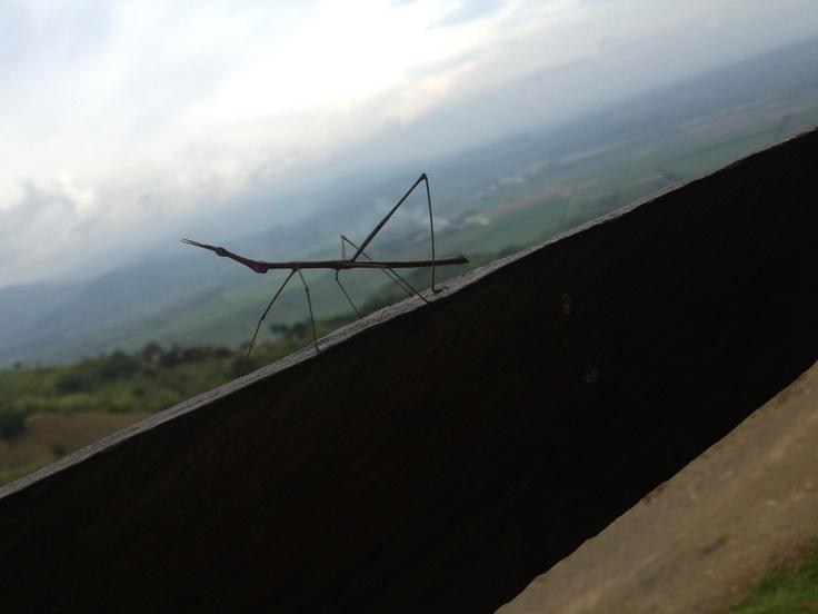 Insecto Palo con el fondo del Valle del río Risaralda, Balboa
