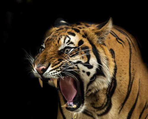 Why We Should All Pay Attention To Just How Endangered Tigers Are