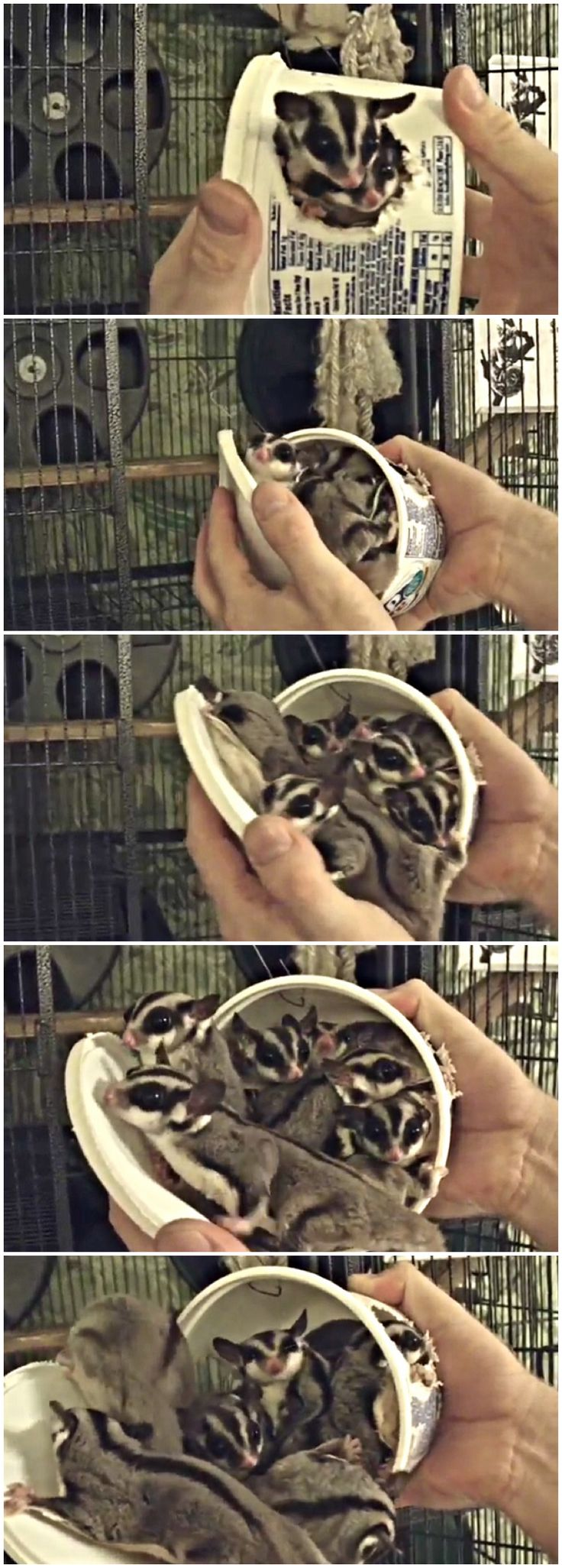 How many sugar gliders can fit inside of a Cool Whip container? (Answer: At least eight!)