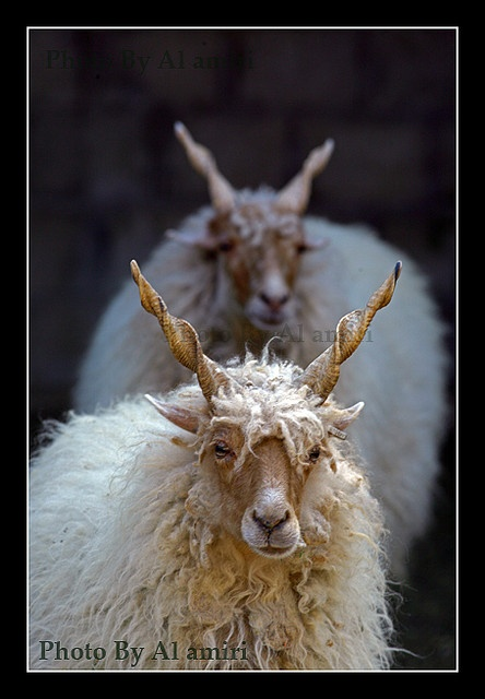Spirals in nature #spirals Sheep with wooly coats and spirally horns