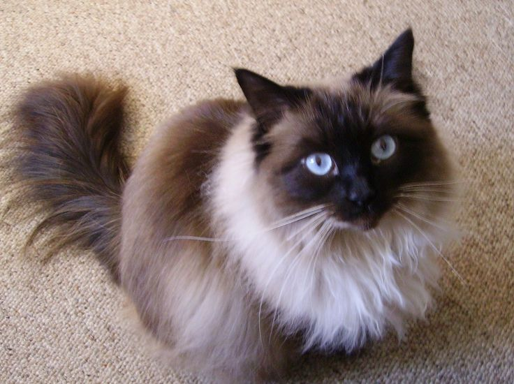Cat Ragdoll Rescue | Floppycats | Uniting Ragdoll Cat Lovers Worldwide