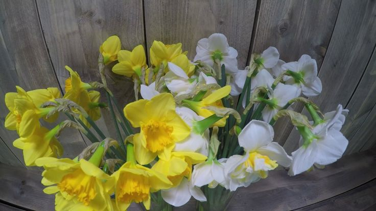 Byfod Time Lapse Daffodils