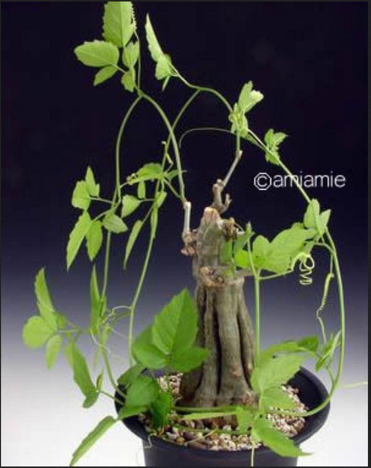 Momordica rostrata Caudex Large Mature Plant • £29.50 - PicClick UK