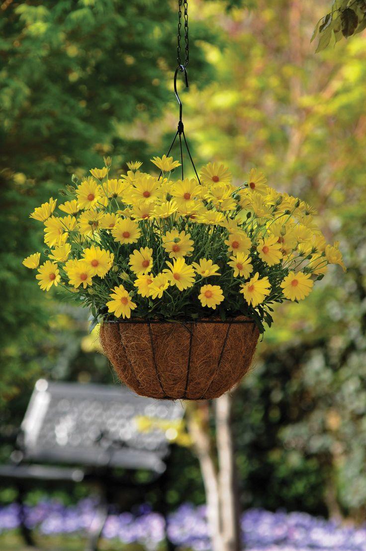 ☀ Sunshine Yellow Cottage ☀ Cape Daisy - Cape Marguerites - Osteospermum ecklonis - Cseppecske virág - Szaporítása: magvetés, dugványozás. Szereti a tűző napot, meleg - védett fekvést. Nem szereti a túl sok vizet, de öntözni kell, hogy virágozzon! Laza, jó vízáteresztő talajban érzi jól magát. Elnyílt virágokat mindig csippkedjük le, ha nem akarunk magot érlelni.