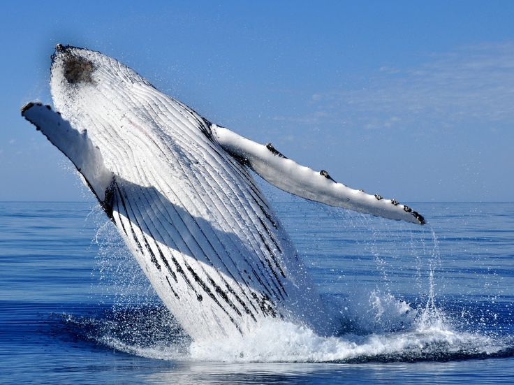 9 Romantic Park Trip Ideas: Whale watching at Channel Islands National Park, California: Humpback Whale, Islands National, Channel Islands, National Parks, Selling Whale, Ocean Life, Site Illegally, Illegally Selling