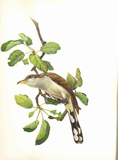 Yellow-billed Cuckoo by J. Fenwick Lansdowne (1937-2008)