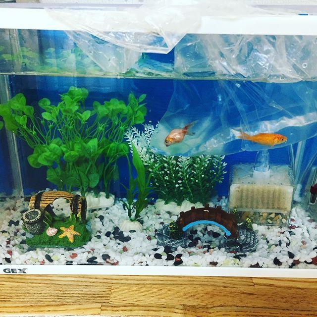 【mayaaaaaam】さんのInstagramをピンしています。 《水槽の水替え終了✨  金魚すくいで釣った金魚ちゃんも残り2匹になってしまった。1匹は病気がちだし...長く生きてほしいなぁ。  #金魚#和金#金魚すくい#アクアリウム#》