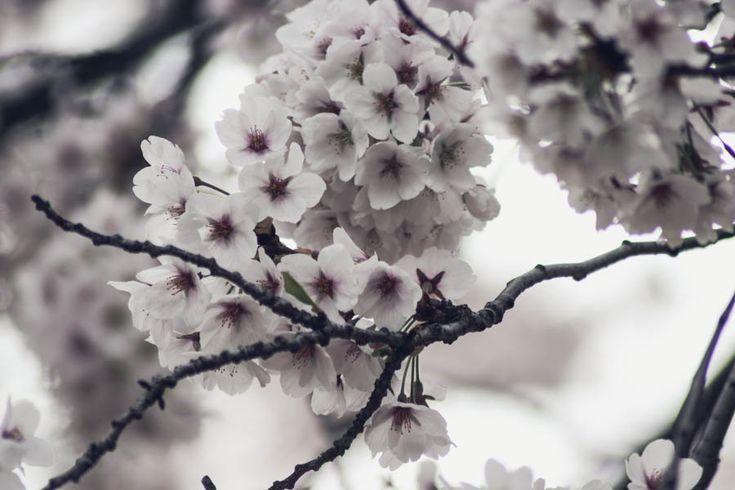 cherry-blossoms-toronto