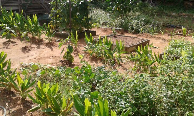kebun kecil impian besar: Cara mudah tanam kunyit hidup
