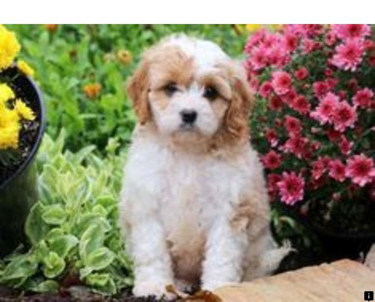 Learn More About Pugs For Sale Near Me Follow The Link To Find Out More The Web Presence Is Worth Checking Out Cavapoo Puppies Pug Puppies Puppies