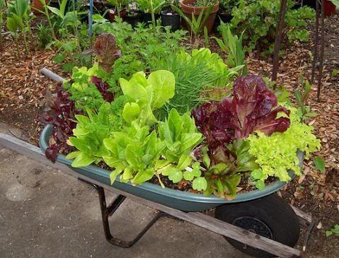 Salad Garden in a retired wheelbarrow