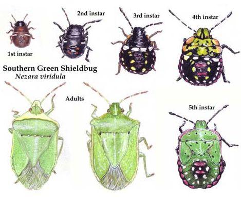 Southern green shield bug