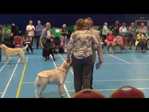 Yellow Labrador Club 2016 Dog CC Mattand Exodus