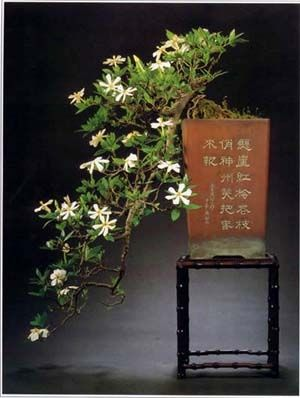 JPB:Bonsai Collection 7 | Gardenia Bonsai