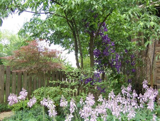 Using a tree as a trellis - Clematis on Dogwood; a way to get them some sun