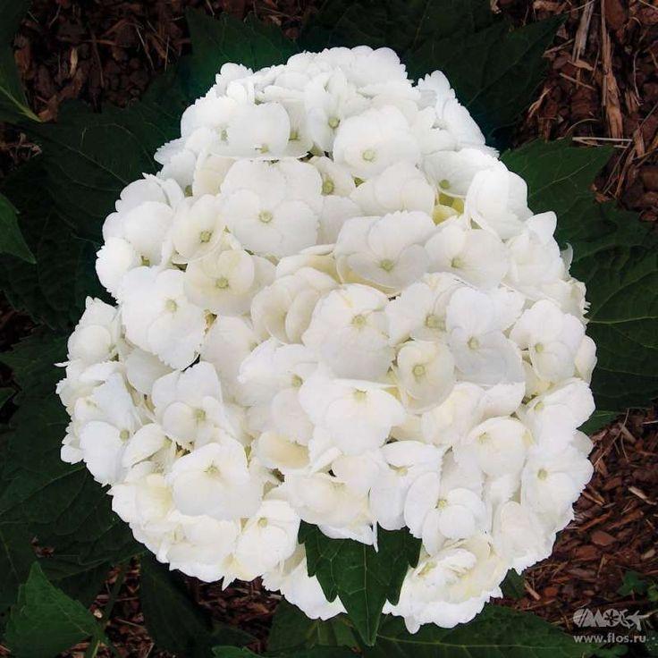 ГОРТЕНЗИЯ КРУПНОЛИСТНАЯ МАДАМ ЭМИЛЕ МУИЛЛЁ Наиболее зимостойкий сорт. Соцветия чуть розоватого цвета, почти белые, цветки немного зубчатые по краю.