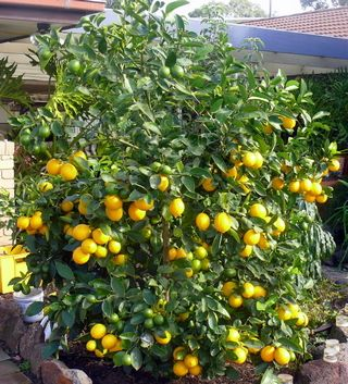 A Dwarf Meyer Lemon Is Among Our Top Choices For Fruit Trees Apricot Also