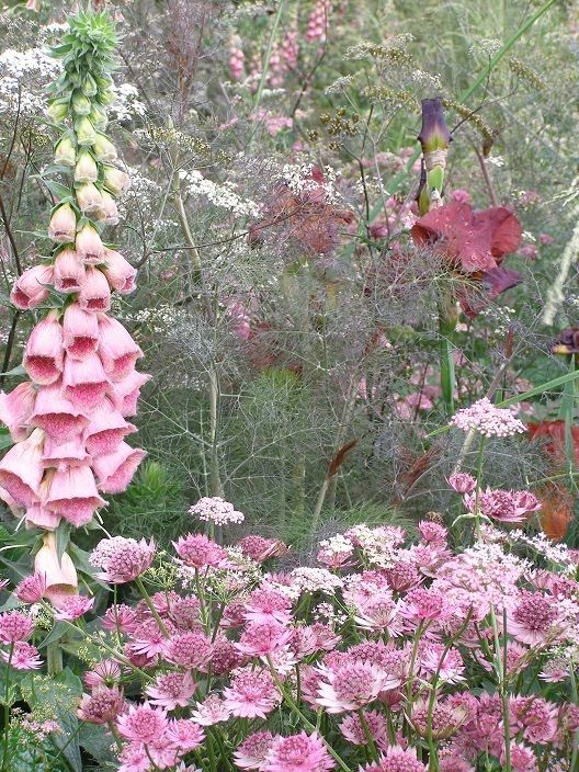 Astrantia 'Roma', Astrantia 'Buckland', Digitalis x mertonensis, Pimpinella major 'Rosea', Iris 'Dutch Chocolate', Anthriscus sylvestris 'Ravenswing' and (you'll have to take my word for it as it's just outside the picture) Nectaroscordum siculum, besieged by bumblebees.