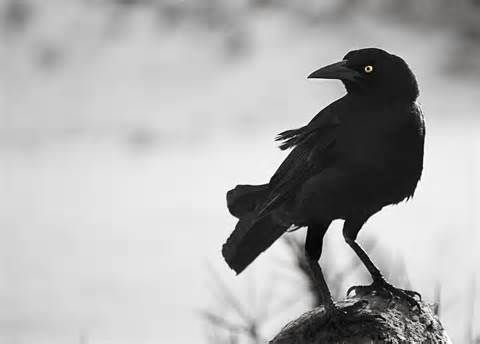 """Crow is the keeper of the Sacred Law, for nothing escapes their keen sight.   Crow is appearing for you to beckon you to begin to use your """"second sight""""  www.UniverseofSymbolism.com"""