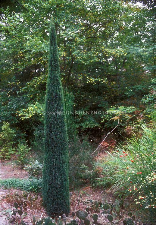 Rocky Mountain Juniper, upright Juniperus scopulorum Skyrocket, a tall and narrow evergreen in the garden