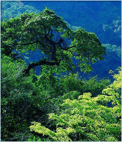 Rain forest of BelizeBelize Rainforests, Buckets Lists, Beautiful Places, Tropical Rainforests, Jungles Trees, Rain Forests, Rainforests Trees, Jungles Rainforests, Amazon Rainforests