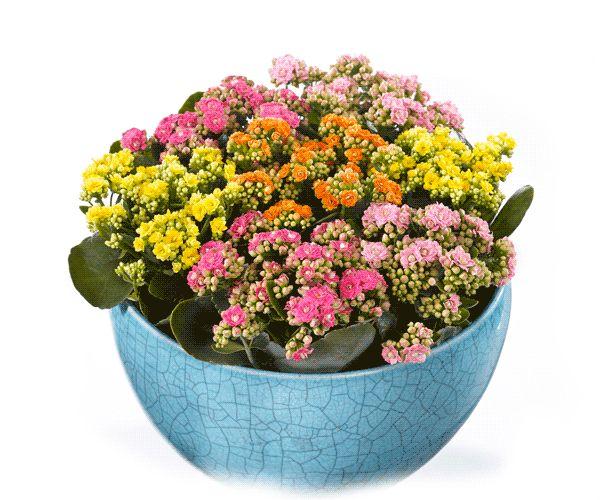 Van Kalanchoë word je gegarandeerd blij. Dit plantje is veelzijdig en bijzonder kleurrijk. Voor ieder interieur een bijpassende kleur. En een plaatje om al die heldere lentekleuren te combineren. Leuk voor de Paastafel! #AltijdKleurrijk #Pasen #Kalanchoë #roze #bloem #flower #pink #yellow #orange #geel #oranje
