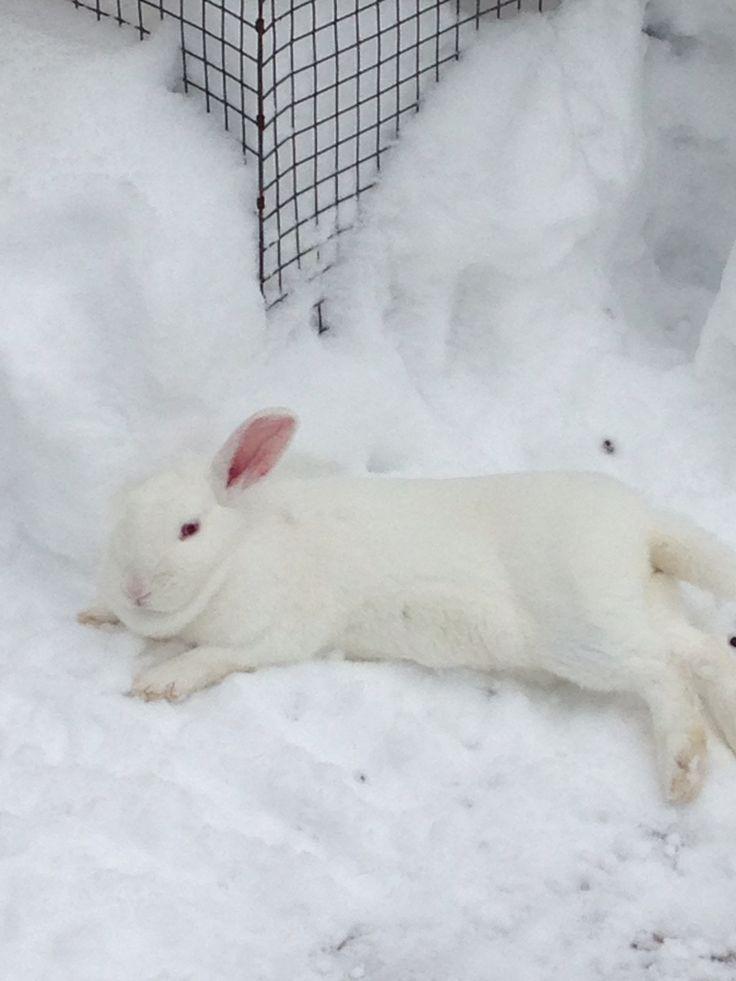 Snow bunny Bobbie  NZ white rabbit