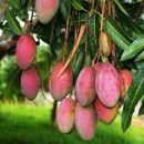 El cultivo de árboles exóticos: caqui, mango, chirimoyo, níspero y kiwi