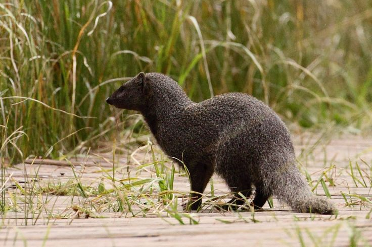Today is Wednesday and that means the next installment of our #WildlifeWednesday series. Today we will be showcasing the Water Mongoose. The water mongoose is a medium-sized mammal, though large for a mongoose. Its weight can range from 2 to 5.5 kg , with an average range of 2.5 to 4.1 kg. From the head to the base of the tail, these animals range from 44 to 62 cm, with the tail adding 25–36 cm. It is a member of the mongoose family and the only member of its genus. Atilax paludinosus is…