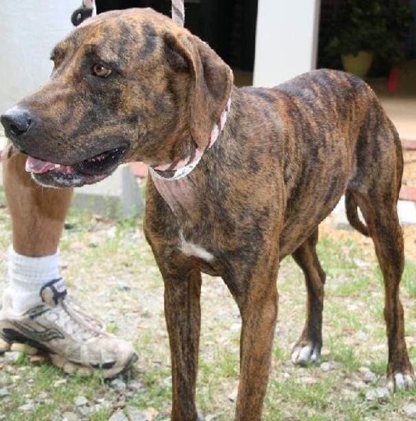 cute plott hound dog - photo #15