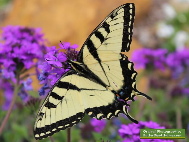 Eastern Tiger Swallowtail Butterfly, size, colors, life span, host ...